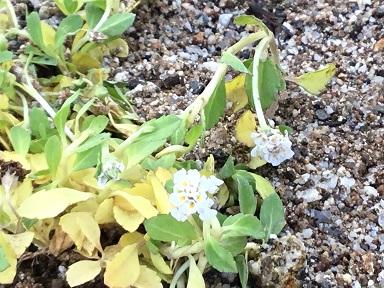 クラピアの花