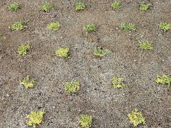 クラピアを30cm間隔で植える