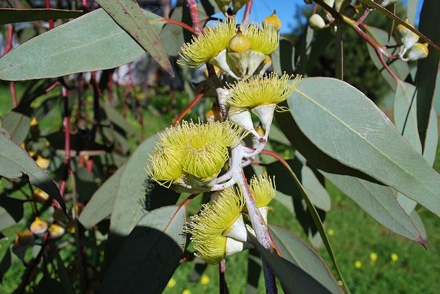 Eucalyptus_01