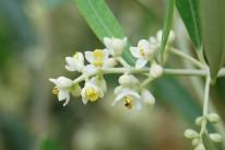 oliveflower120531