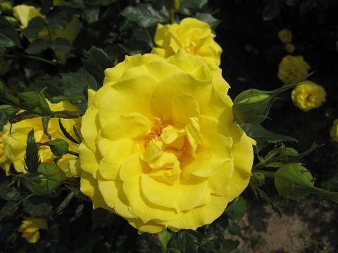 rose-fair04