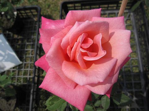 rose-fair06