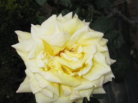 rose-fair08